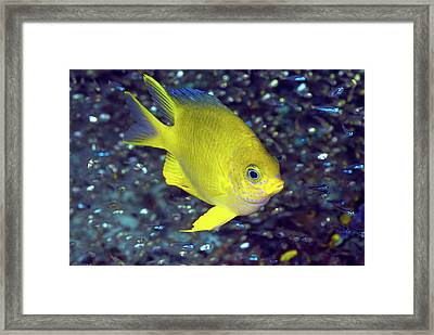 Yellow Damselfish Surrounded Framed Print