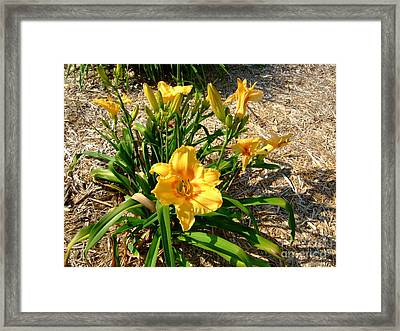 Yellow Daylily Framed Print by Deborah DeLaBarre