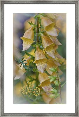 Yellow Digitalis Framed Print by Maj Seda
