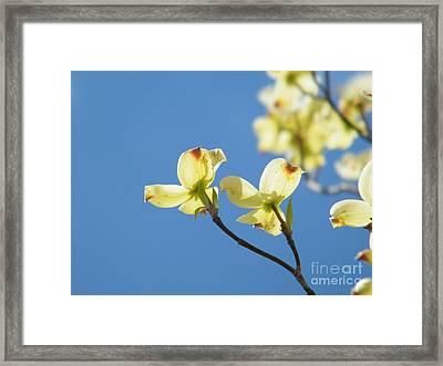Yellow Dogwood - Cherokee Princess Framed Print