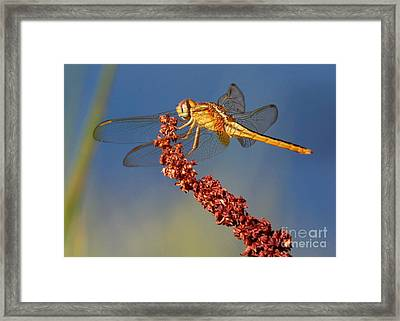 Yellow Dragonfly On Brown Reed Framed Print by Carol Groenen