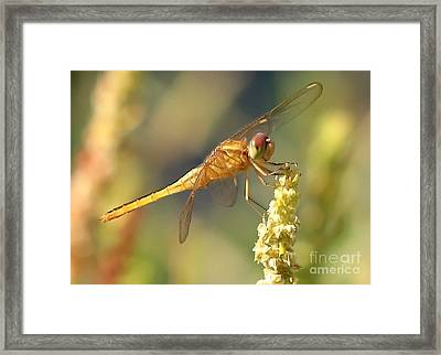 Yellow Dragonfly On Yellow Reed  Framed Print by Carol Groenen