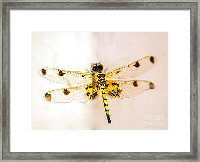 Yellow Dragonfly Pantala Flavescens Framed Print by Iris Richardson