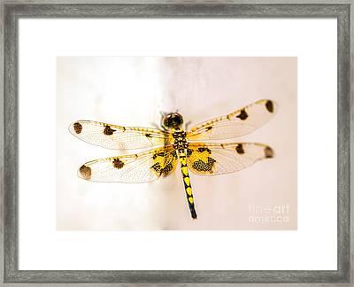 Yellow Dragonfly Pantala Flavescens Framed Print