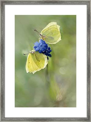 Yellow Duet Framed Print by Jaroslaw Blaminsky