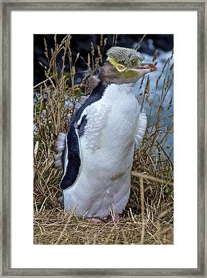 Endangered Yellow Eyed Penguin Hoiho Framed Print by Venetia Featherstone-Witty