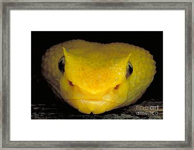 Yellow Eyelash Viper Framed Print by Gregory G. Dimijian