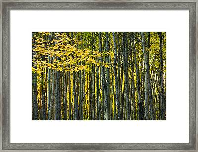 Yellow Fall Birch Leaves Against An Framed Print by Joel Koop