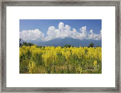 Yellow Field Of Mullein With Pirin Mountains Framed Print