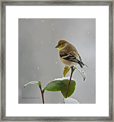 Yellow Finch Framed Print by Denise Romano