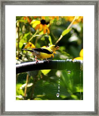 Framed Print featuring the photograph Yellow Finch With A Water Leak by B Wayne Mullins