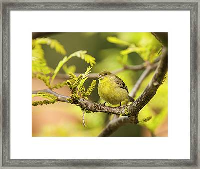 Yellow Finch With Young Seeds Framed Print