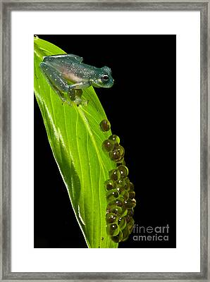 Yellow-flecked Glass Frog Guarding Eggs Framed Print