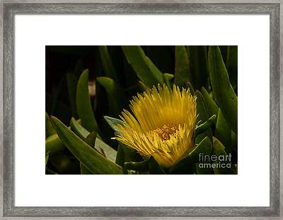 Yellow Flower  1.7098 Framed Print by Stephen Parker