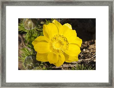 Yellow Flower Adonis Vernalis Framed Print by Matthias Hauser