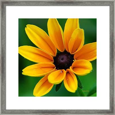 Yellow Flower Black-eyed Susan Framed Print by Christina Rollo