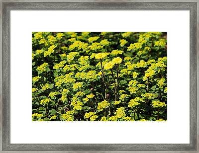 Yellow Flowers Carpet Framed Print