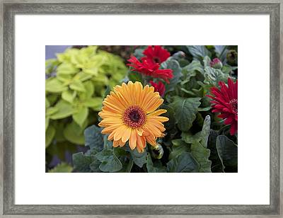 Yellow Flowers Framed Print by Jocelyne Choquette