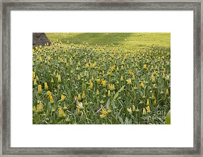 Yellow Flowers Framed Print by M Valeriano