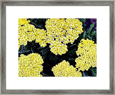 Yellow Flowers Framed Print by Sanford