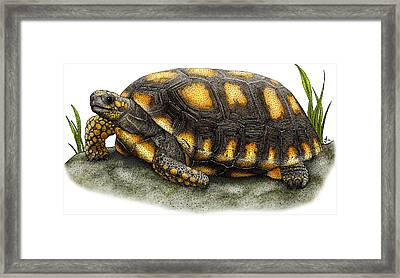 Yellow-footed Tortoise Framed Print