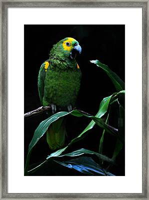 Yellow Fronted Amazon  Framed Print by Diana Angstadt