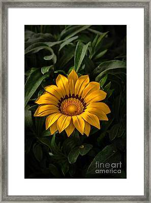 Yellow Gazania Framed Print by Robert Bales