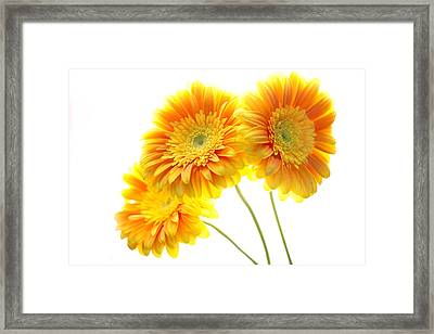 Yellow Gerber Trio Framed Print by Rebecca Cozart