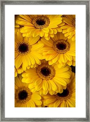 Yellow Gerbera 1. Amsterdam Flower Market Framed Print