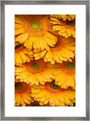 Yellow Gerbera 2. Amsterdam Flower Market Framed Print