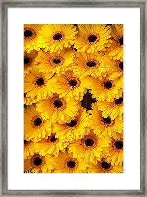 Yellow Gerbera. Amsterdam Flower Market Framed Print