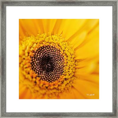 Yellow Gerbera Squared Framed Print by TK Goforth
