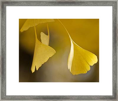 Yellow Ginkgo Framed Print