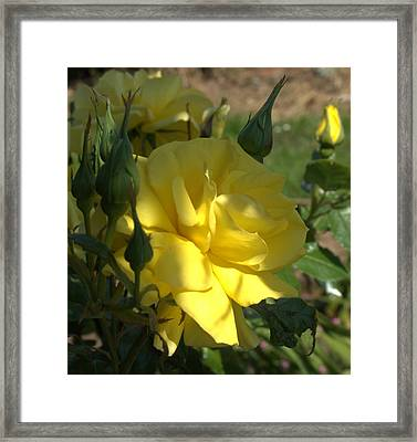 Framed Print featuring the photograph Yellow Grace by Suzy Piatt