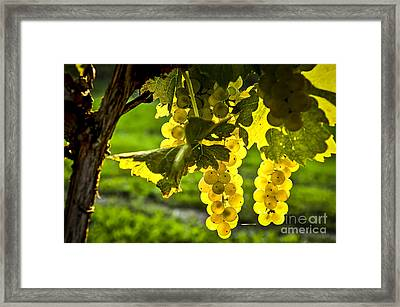 Yellow Grapes In Sunshine Framed Print by Elena Elisseeva