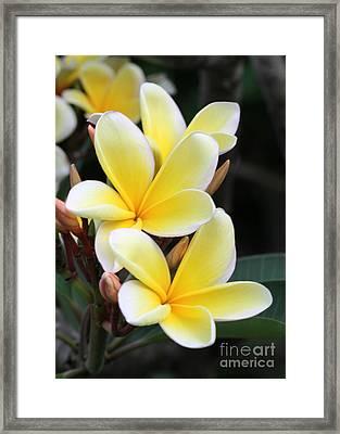 Yellow Hawaiian Plumeria Flowers Framed Print by Sabrina L Ryan