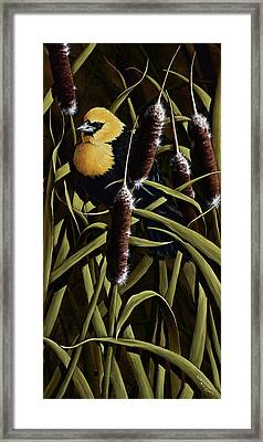 Yellow Headed Blackbird And Cattails Framed Print