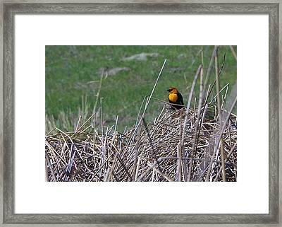 Yellow-headed Blackbird Framed Print by Harvey Dalley