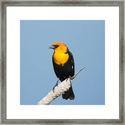 Framed Print featuring the photograph Yellow Headed Blackbird by Jack Bell