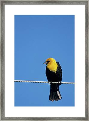 Yellow-headed Blackbird (xanthocephalus Framed Print by Richard and Susan Day