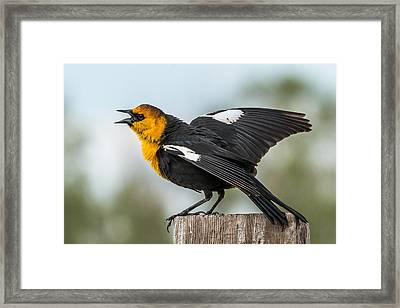 Framed Print featuring the photograph Yellow-headed Blackbird by Yeates Photography