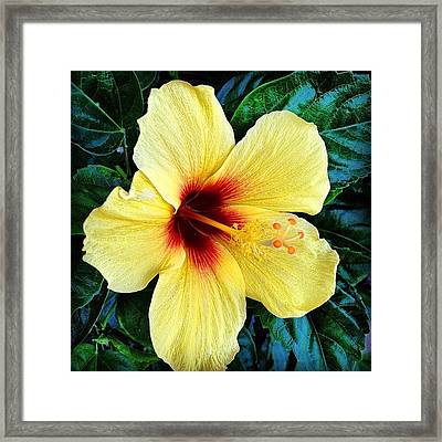 Yellow Hibiscus 2 Framed Print by Darice Machel McGuire