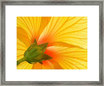 Yellow Hibiscus Backlit Macro Framed Print