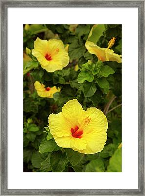 Yellow Hibiscus, Hawaii State Flower Framed Print by Douglas Peebles