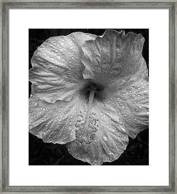 Yellow Hibiscus In The Rain - Black And White Framed Print