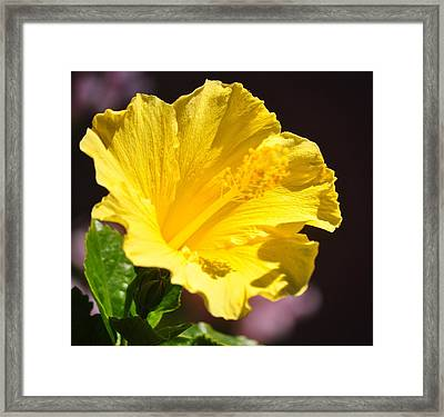 Yellow Hibiscus Open To The Sun Framed Print