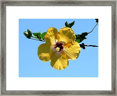 Yellow Hibiscus Framed Print by Zina Stromberg