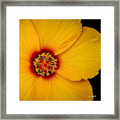 Yellow Hibuscus Too Squared Framed Print by TK Goforth