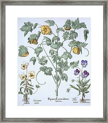 Yellow Horned Poppy Framed Print by German School