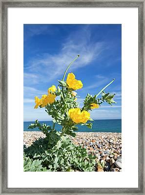 Yellow Horned Poppy (glaucium Flavum) Framed Print by Ashley Cooper